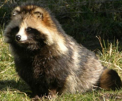 Raccoon Dog #15