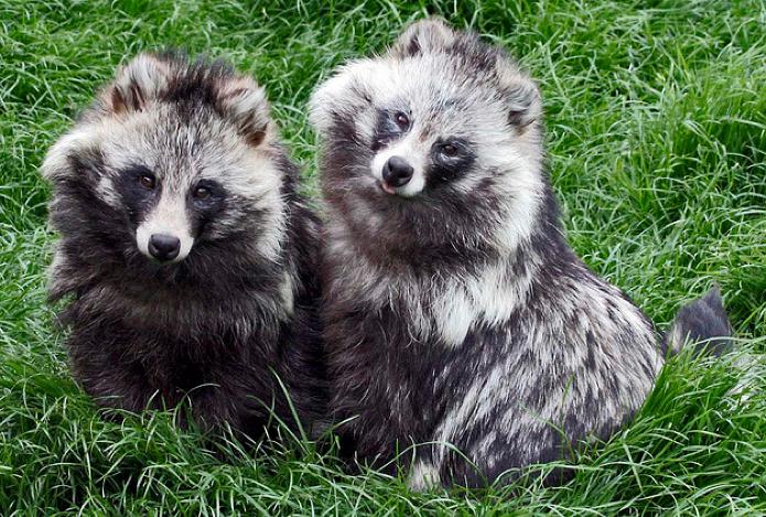 Raccoon Dog #29