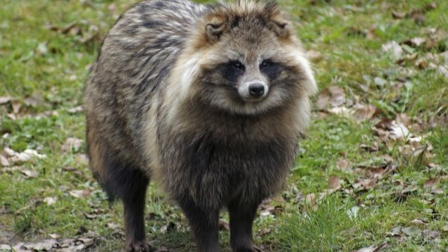 HD Quality Wallpaper | Collection: Animal, 636x358 Raccoon Dog
