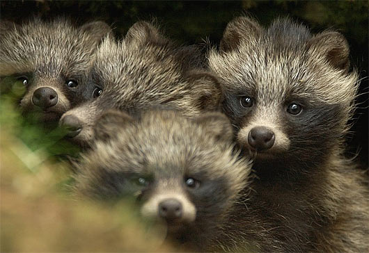 530x364 > Raccoon Dog Wallpapers