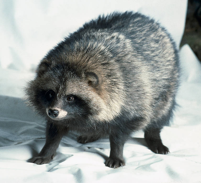 Nice Images Collection: Raccoon Dog Desktop Wallpapers