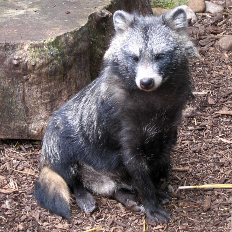 Amazing Raccoon Dog Pictures & Backgrounds