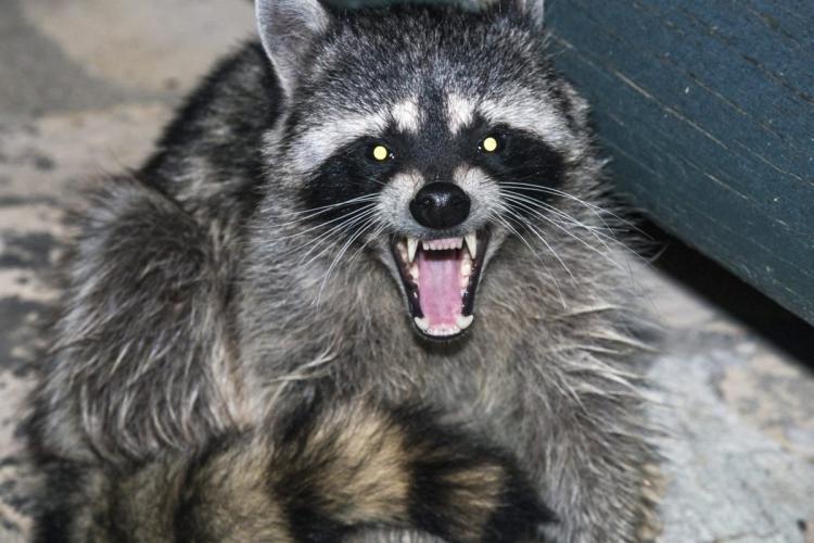 HQ Raccoon Wallpapers | File 57.21Kb