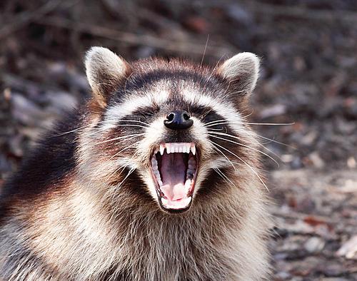 Raccoon Backgrounds, Compatible - PC, Mobile, Gadgets| 500x394 px