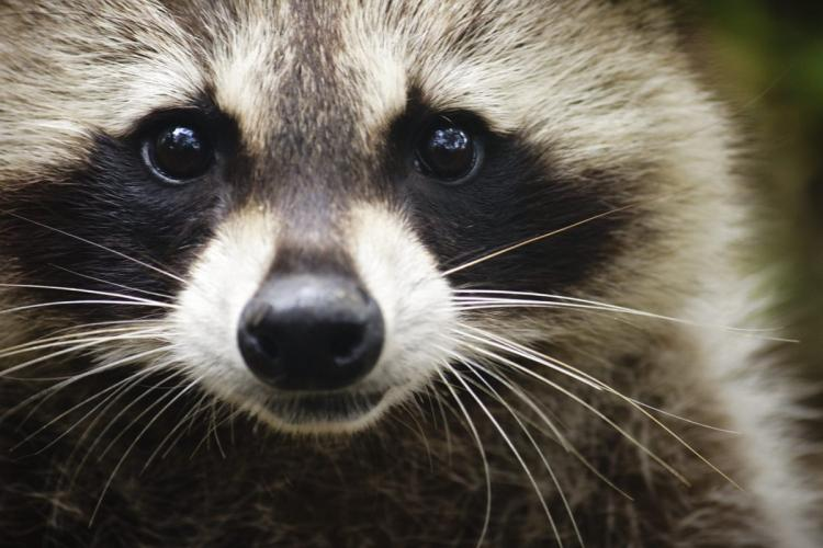 Images of Raccoon | 750x500