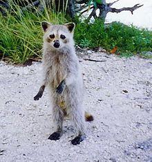 220x234 > Raccoon Wallpapers