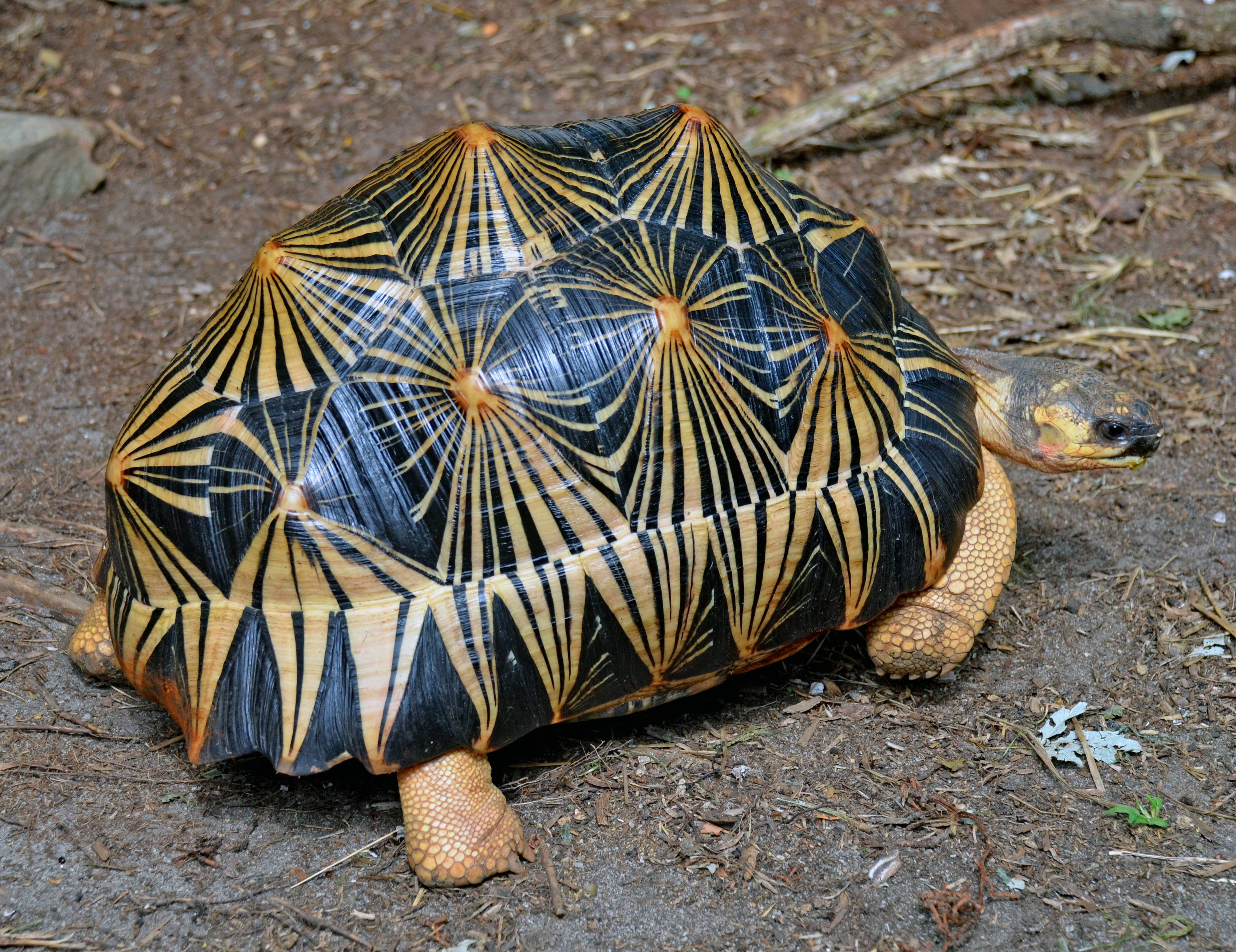 3691x2845 > Radiated Tortoise Wallpapers