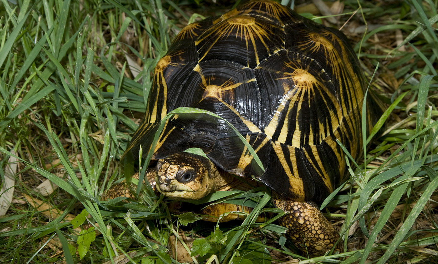 High Resolution Wallpaper | Radiated Tortoise 1400x845 px