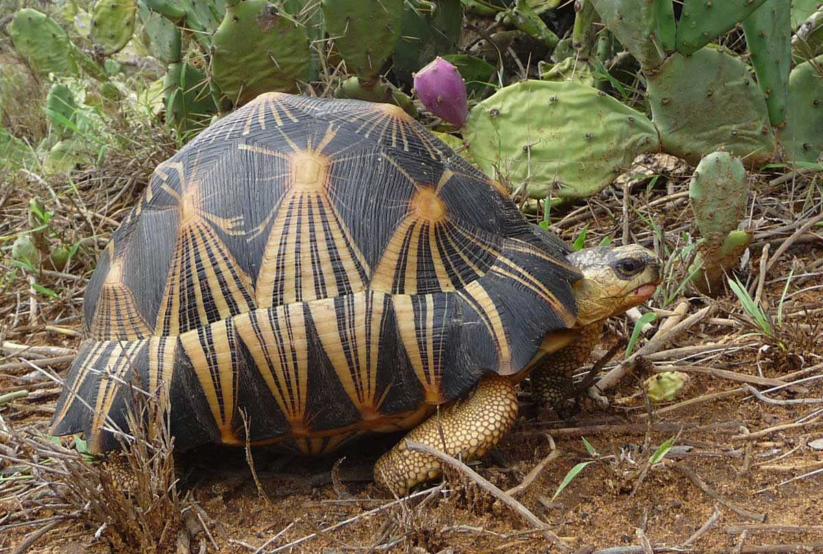HQ Radiated Tortoise Wallpapers | File 189.94Kb