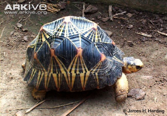 Radiated Tortoise Pics, Animal Collection