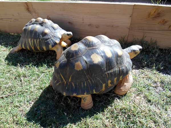 Amazing Radiated Tortoise Pictures & Backgrounds