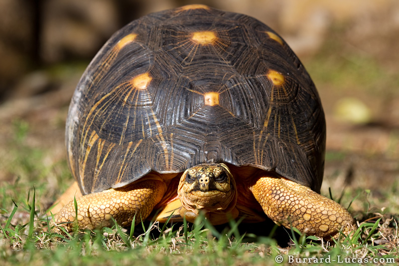 Radiated Tortoise Backgrounds on Wallpapers Vista