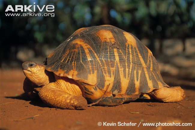 650x434 > Radiated Tortoise Wallpapers