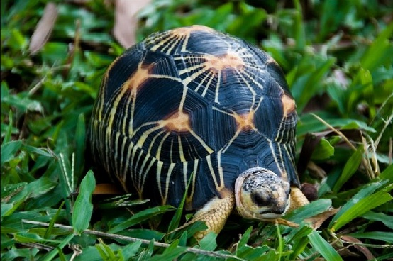 HD Quality Wallpaper | Collection: Animal, 554x368 Radiated Tortoise