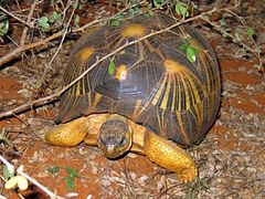 High Resolution Wallpaper | Radiated Tortoise 240x180 px