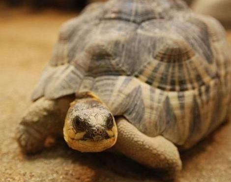 Nice Images Collection: Radiated Tortoise Desktop Wallpapers