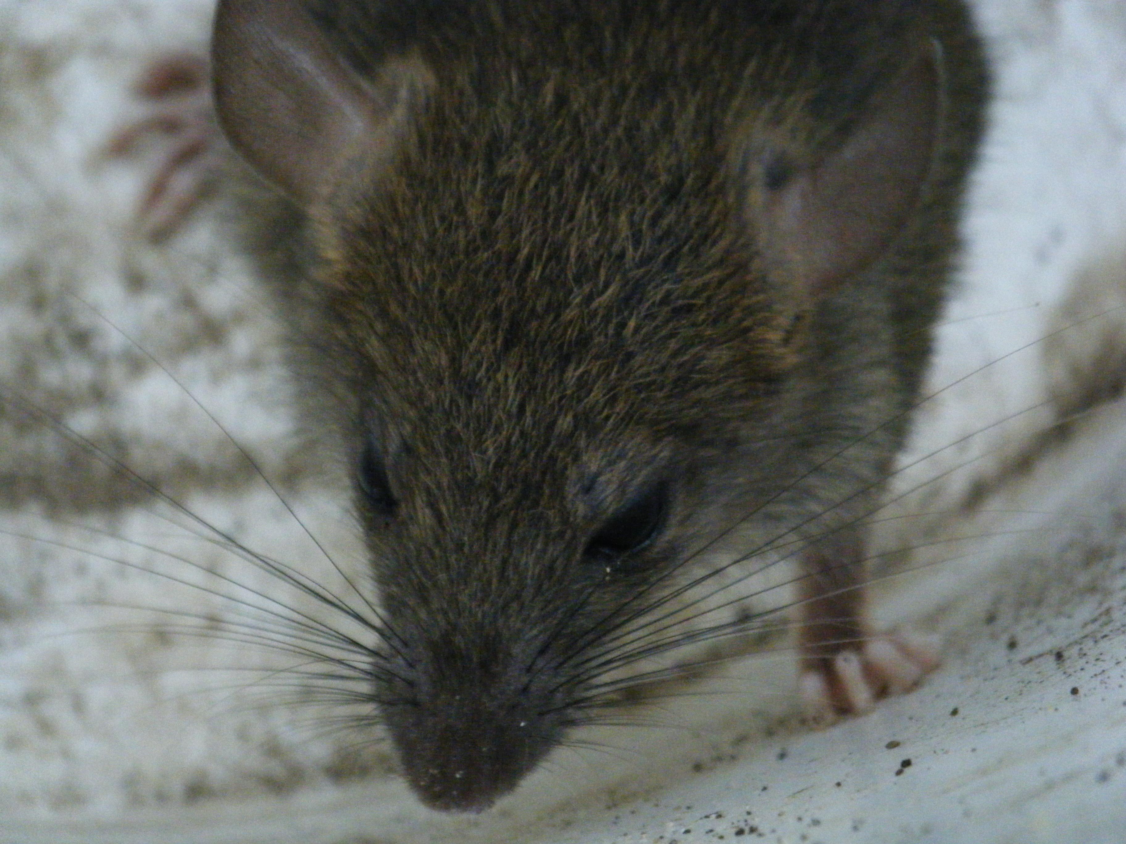 Rat Backgrounds, Compatible - PC, Mobile, Gadgets  3648x2736 px