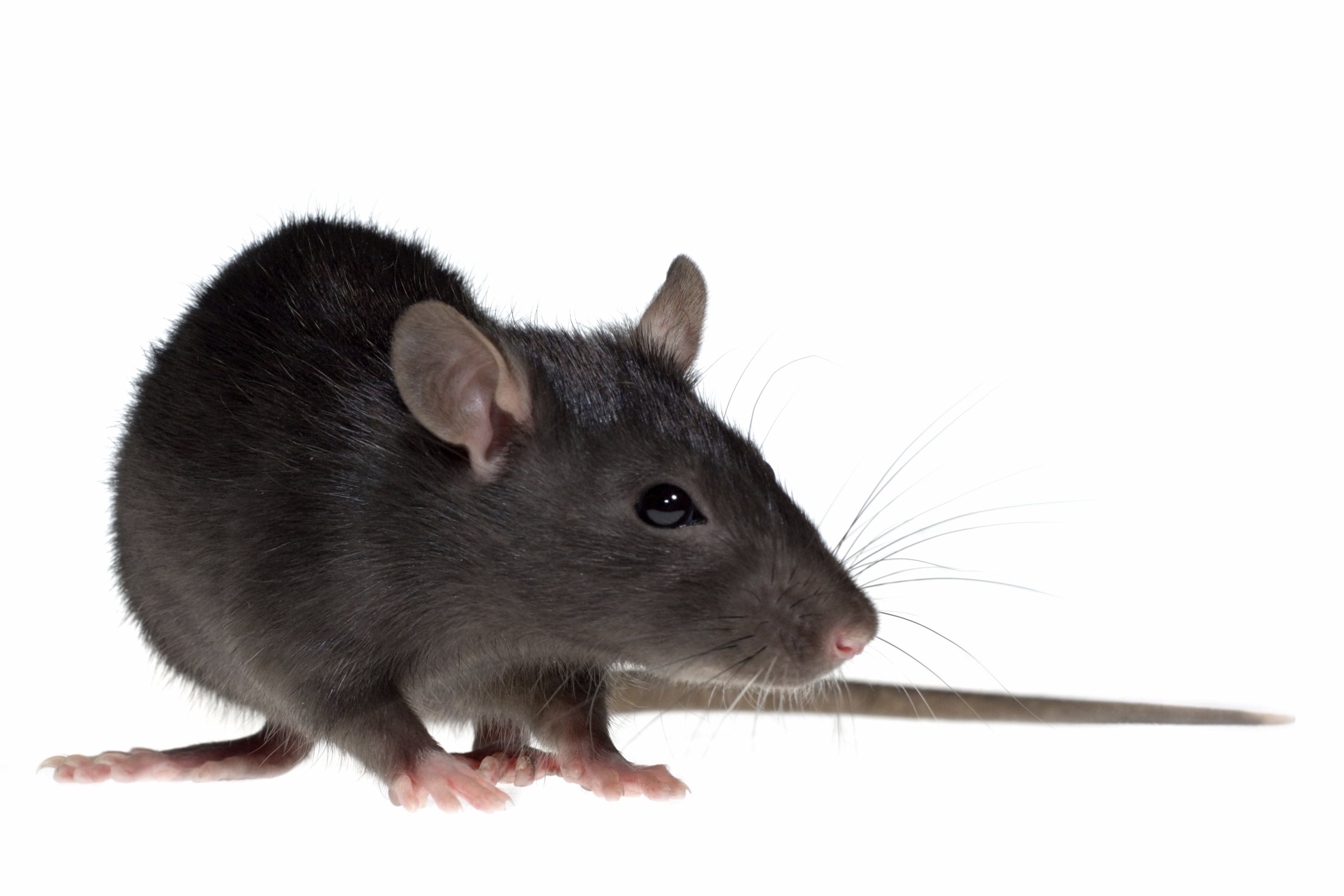Rat High Quality Background on Wallpapers Vista