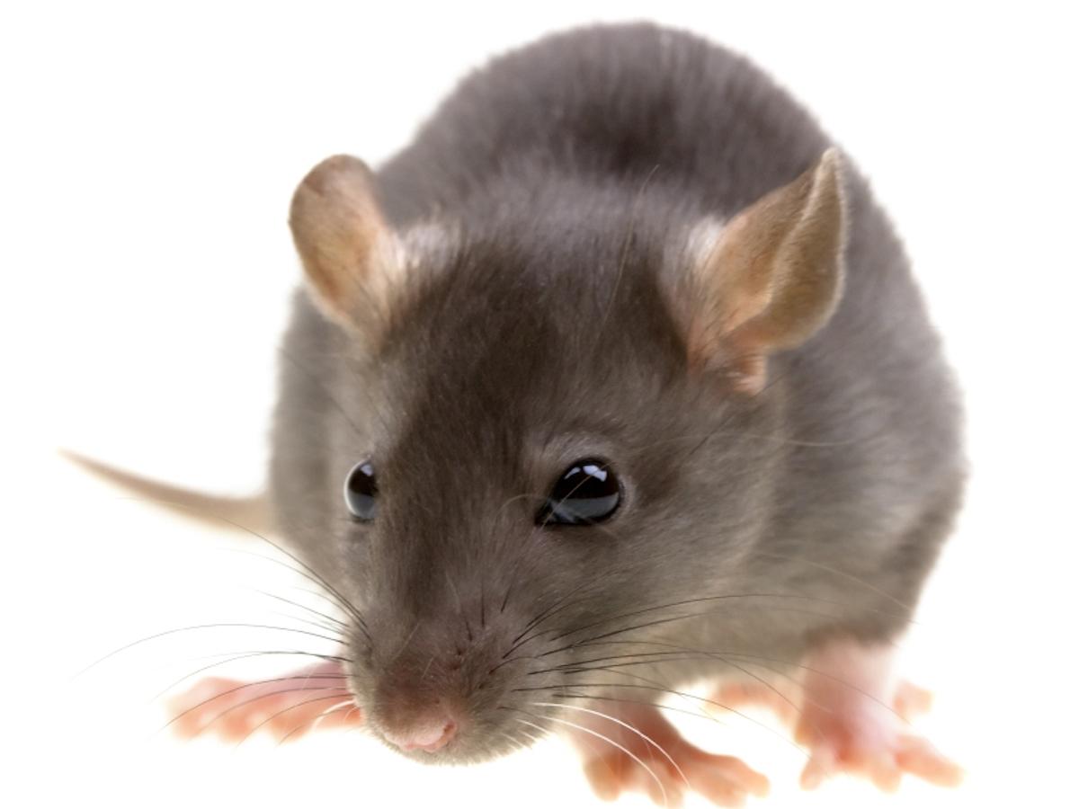 Rat #1