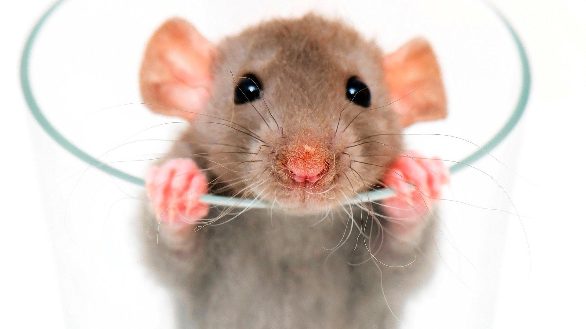 Rat Backgrounds on Wallpapers Vista
