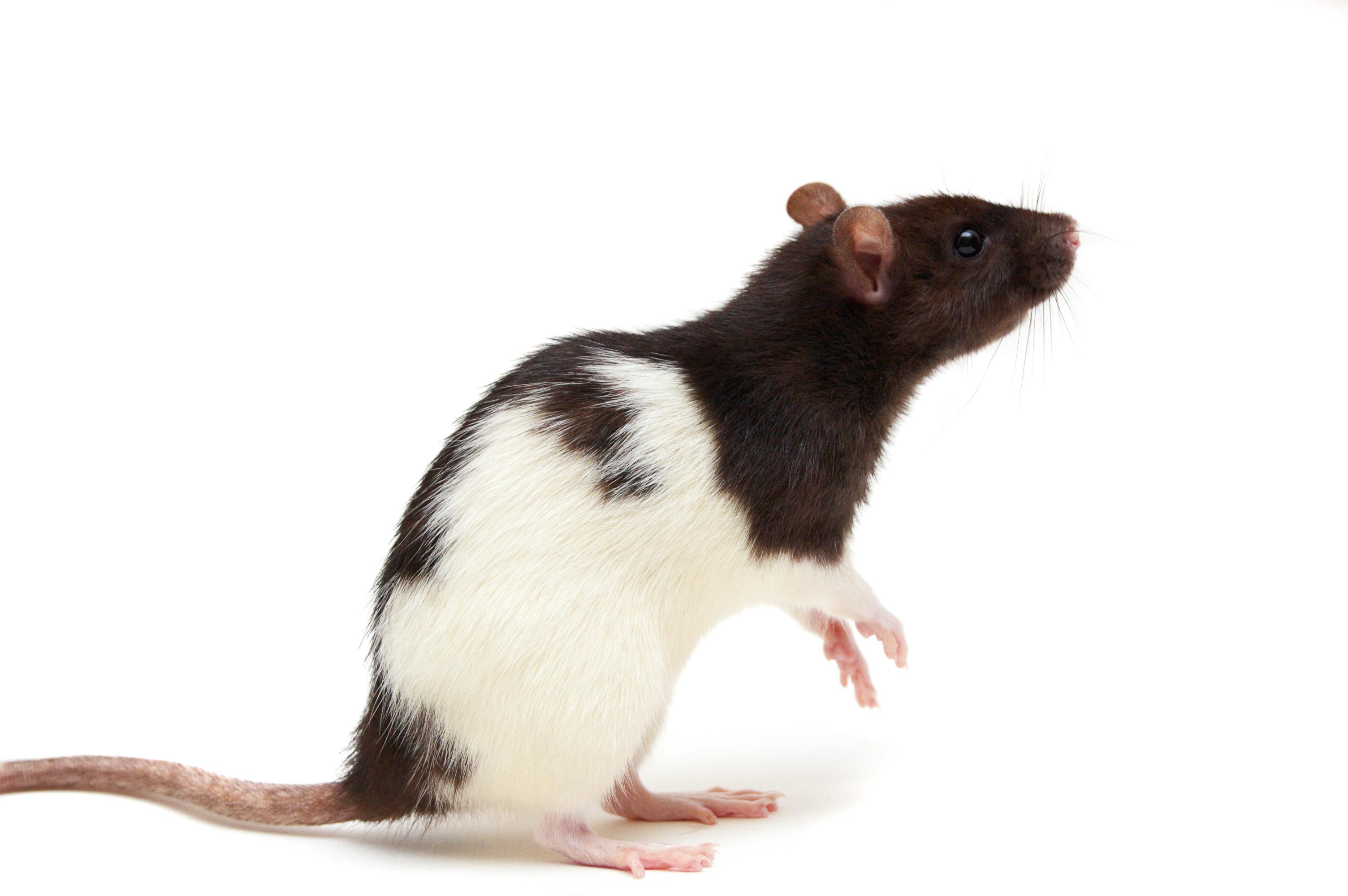Rat Backgrounds, Compatible - PC, Mobile, Gadgets  3008x2000 px