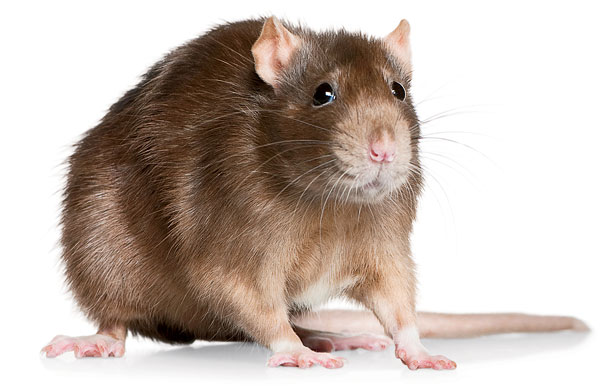 HD Quality Wallpaper   Collection: Animal, 600x389 Rat