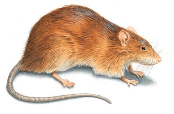 HQ Rat Wallpapers   File 93.14Kb