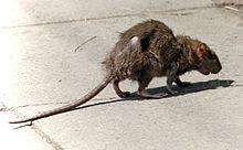 Rat Pics, Animal Collection