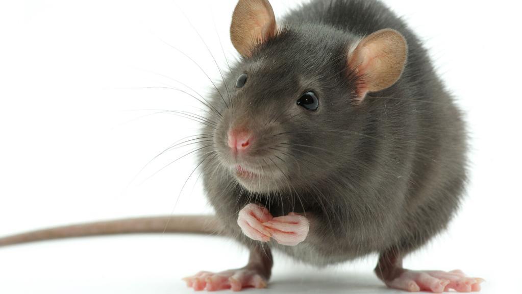 Nice Images Collection: Rat Desktop Wallpapers