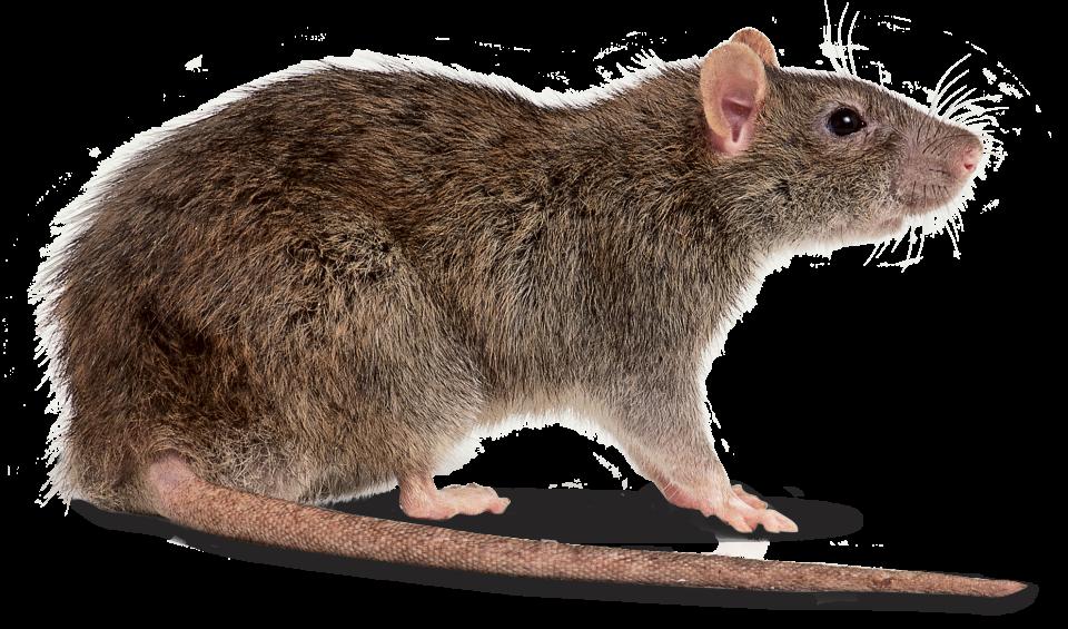 Rat #24