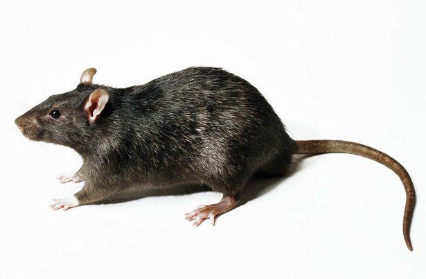 HQ Rat Wallpapers   File 25.59Kb
