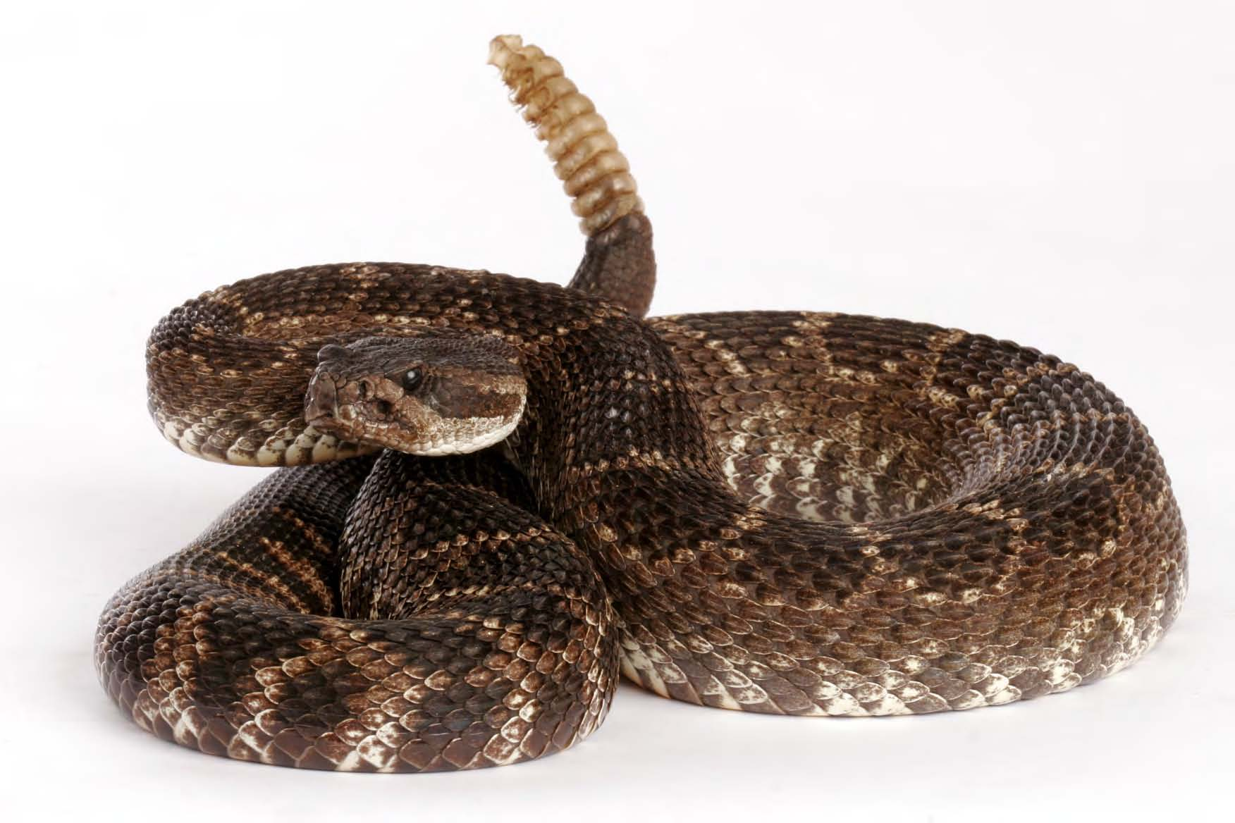 HD Quality Wallpaper | Collection: Animal, 1752x1168 Rattlesnake