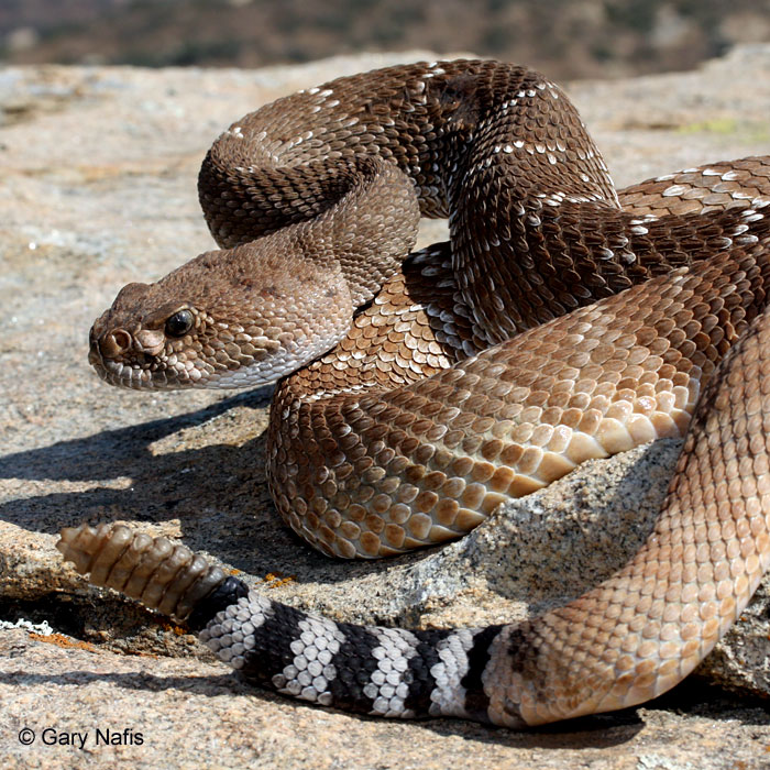 Images of Rattlesnake | 700x700