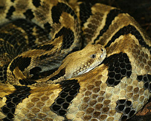 Amazing Rattlesnake Pictures & Backgrounds