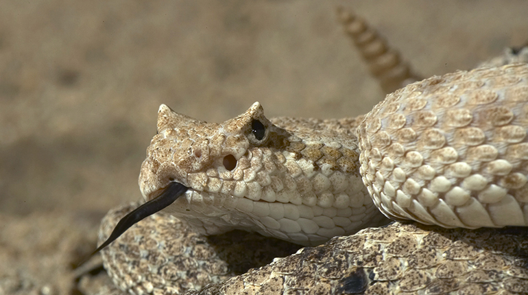 Images of Rattlesnake | 770x430