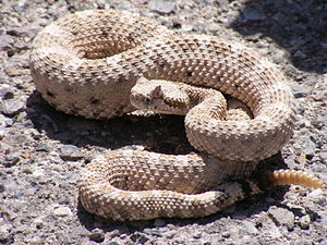 Rattlesnake Backgrounds, Compatible - PC, Mobile, Gadgets| 300x225 px