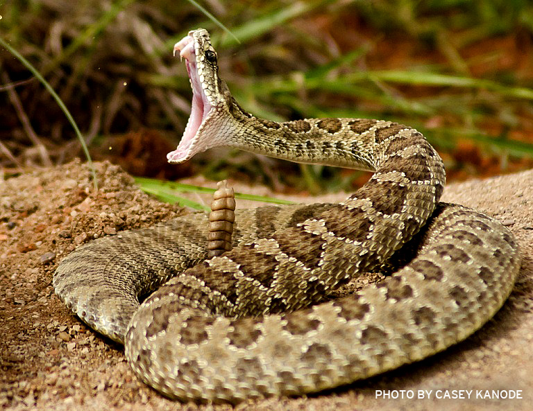 Nice Images Collection: Rattlesnake Desktop Wallpapers