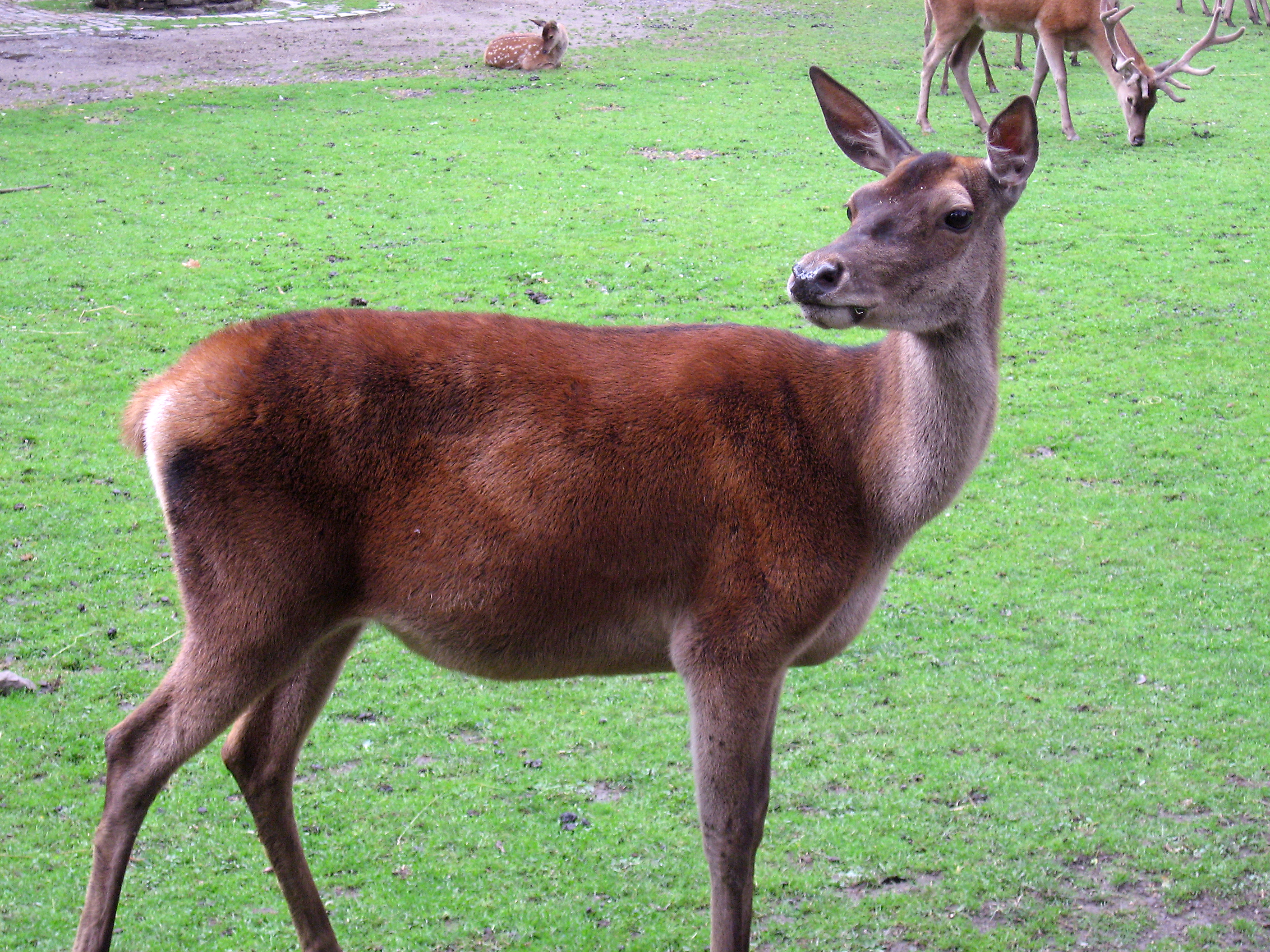 Red Deer High Quality Background on Wallpapers Vista