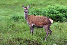 Red Deer Backgrounds on Wallpapers Vista