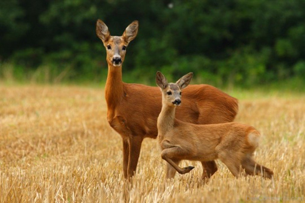 1024x683 > Red Deer Wallpapers