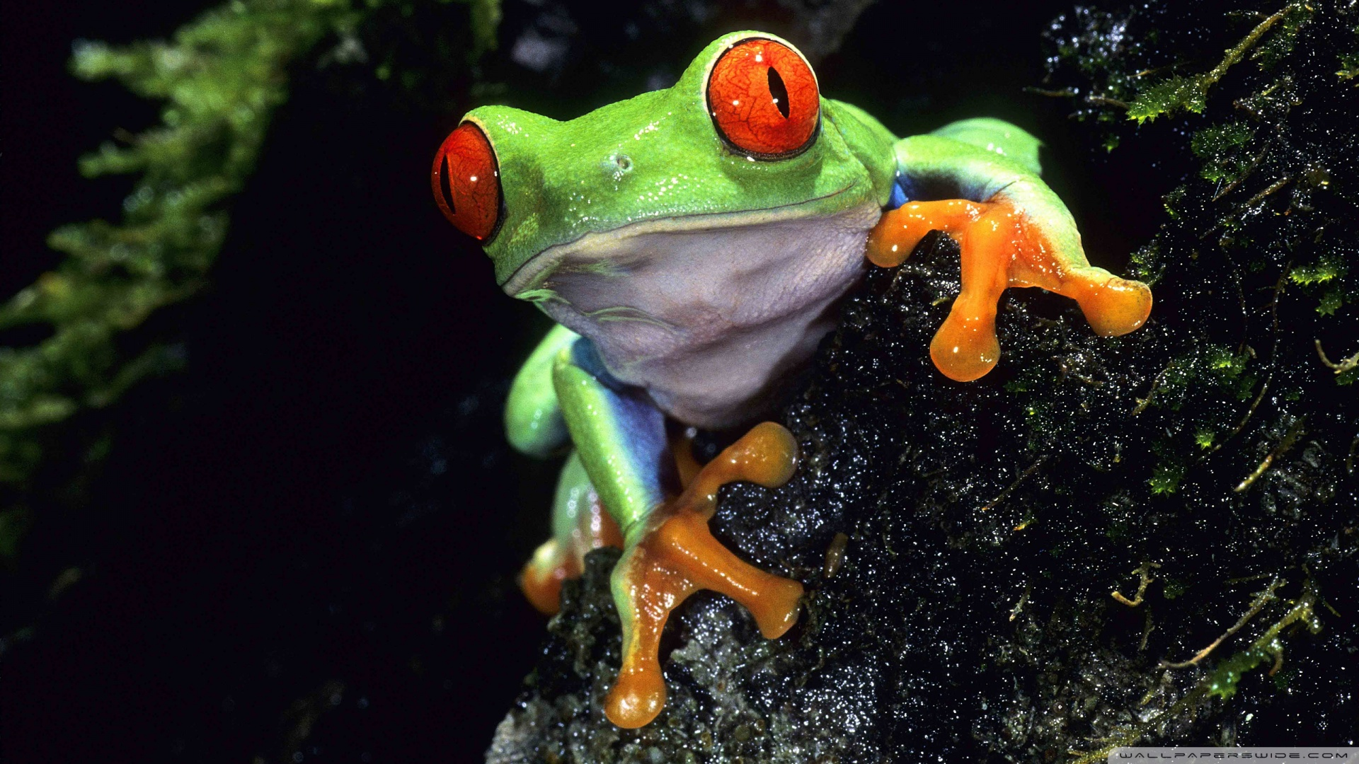 Red Eyed Tree Frog Backgrounds on Wallpapers Vista