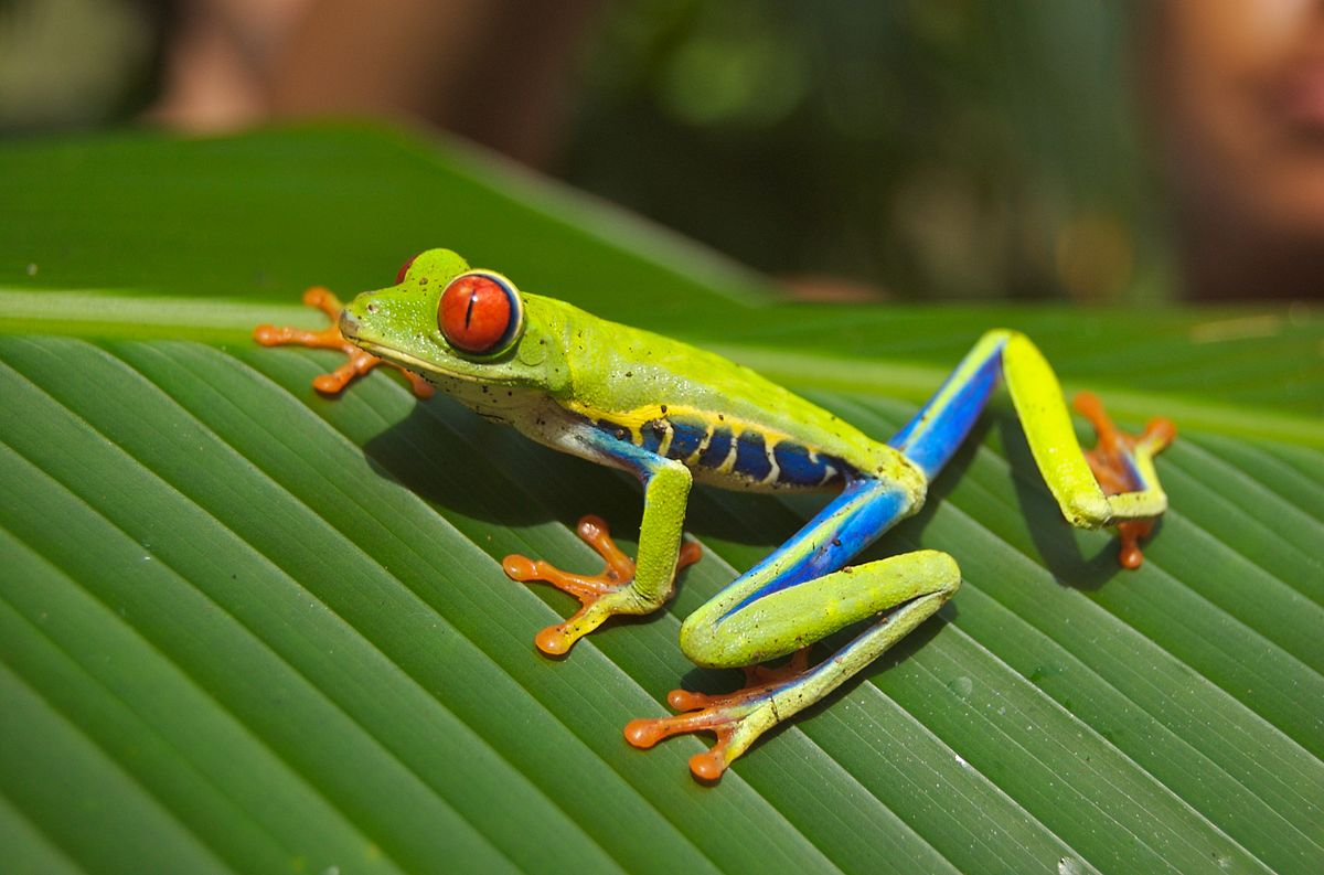 HD Quality Wallpaper | Collection: Animal, 1200x793 Red Eyed Tree Frog