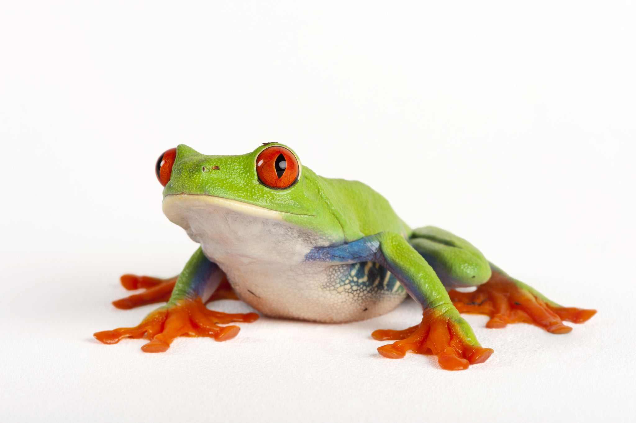 2048x1362 > Red Eyed Tree Frog Wallpapers