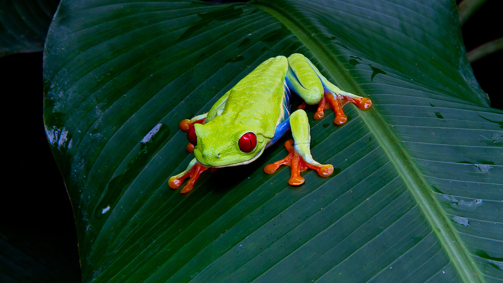 HD Quality Wallpaper | Collection: Animal, 1600x900 Red Eyed Tree Frog