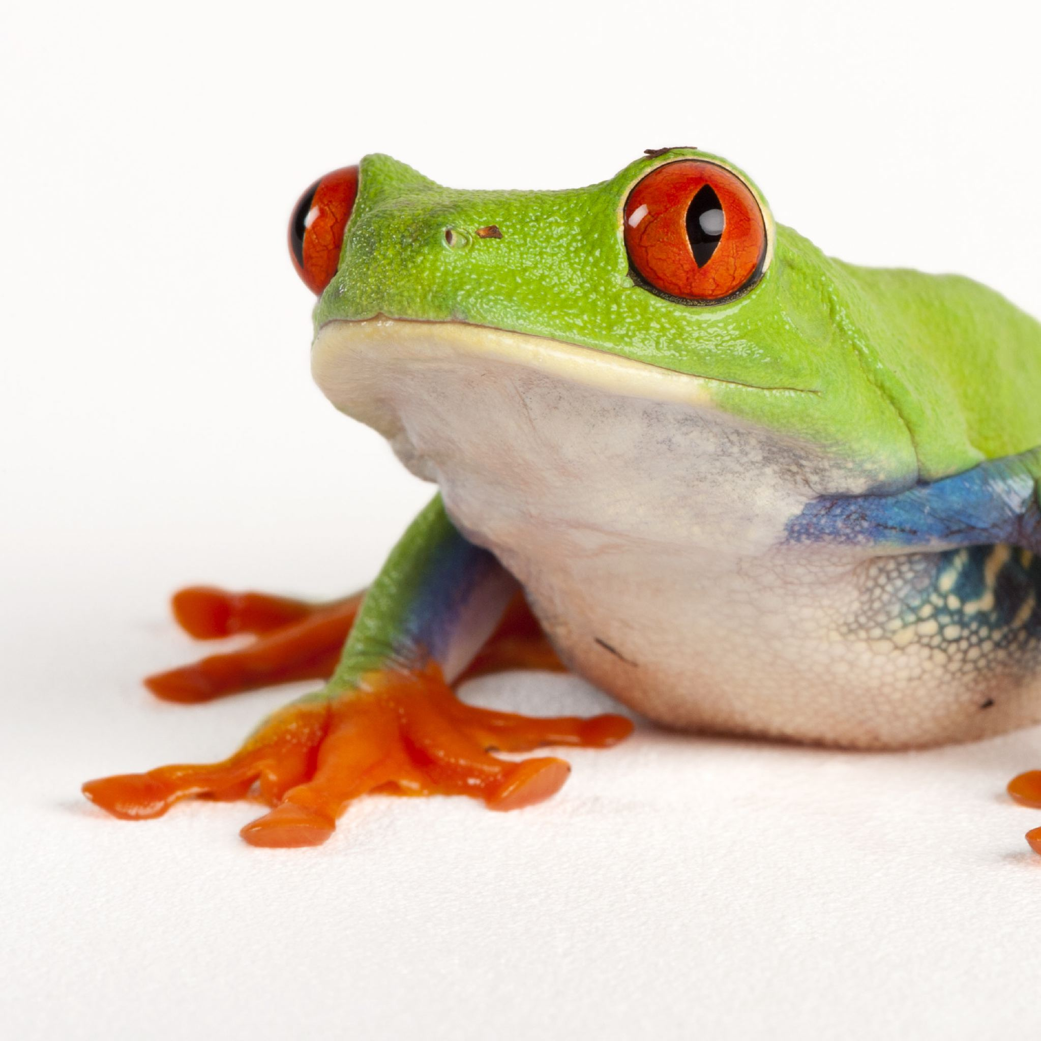 HQ Red Eyed Tree Frog Wallpapers | File 258.52Kb