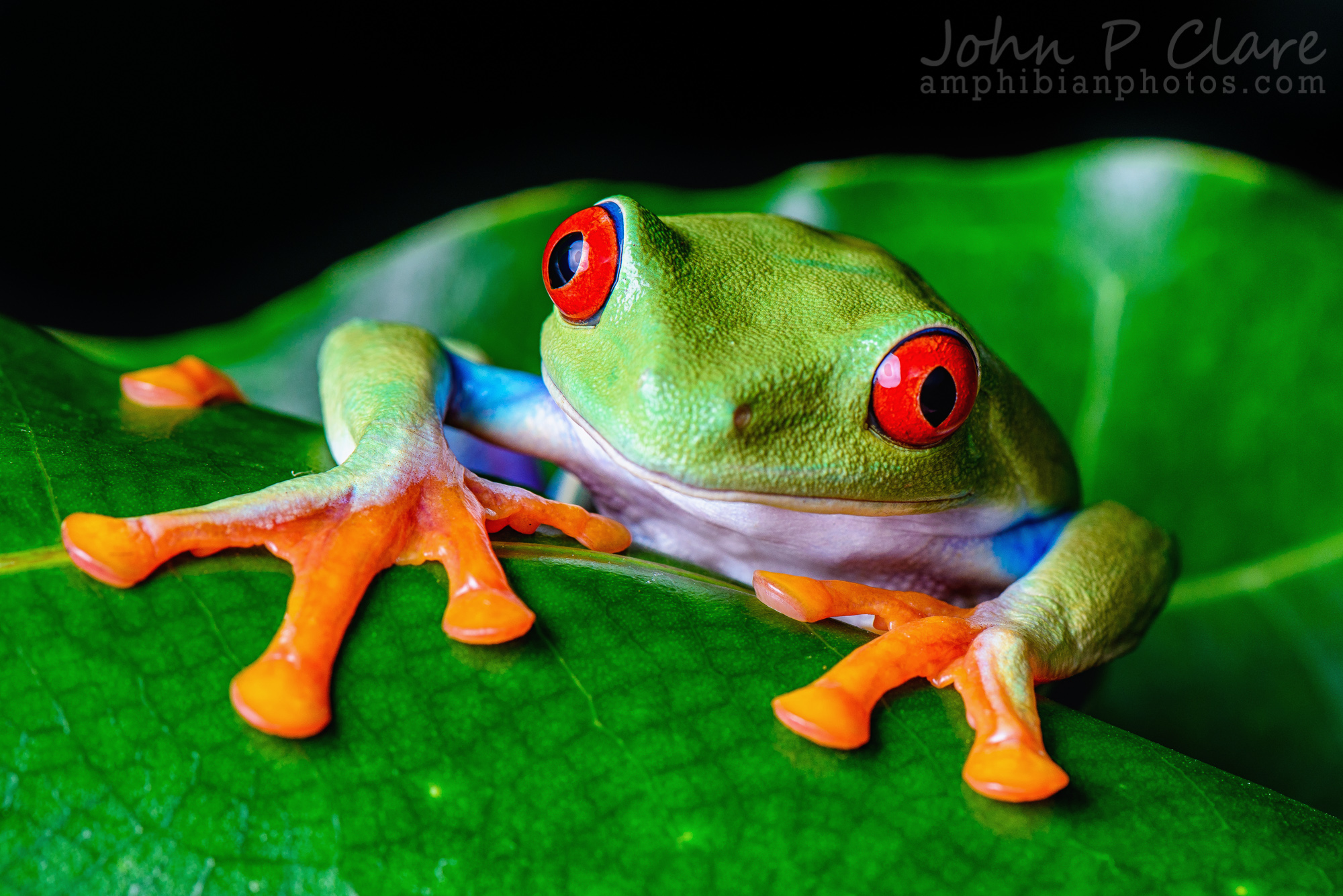 2000x1335 > Red Eyed Tree Frog Wallpapers