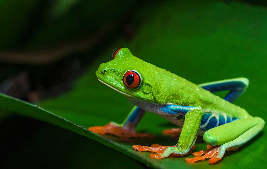 1024x651 > Red Eyed Tree Frog Wallpapers