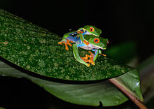 HD Quality Wallpaper | Collection: Animal, 220x156 Red Eyed Tree Frog