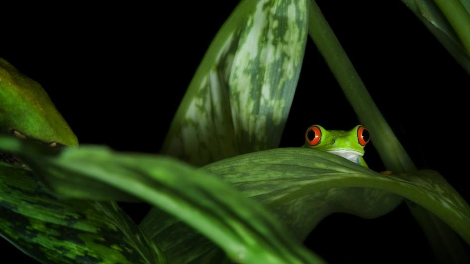 Images of Red Eyed Tree Frog | 945x531