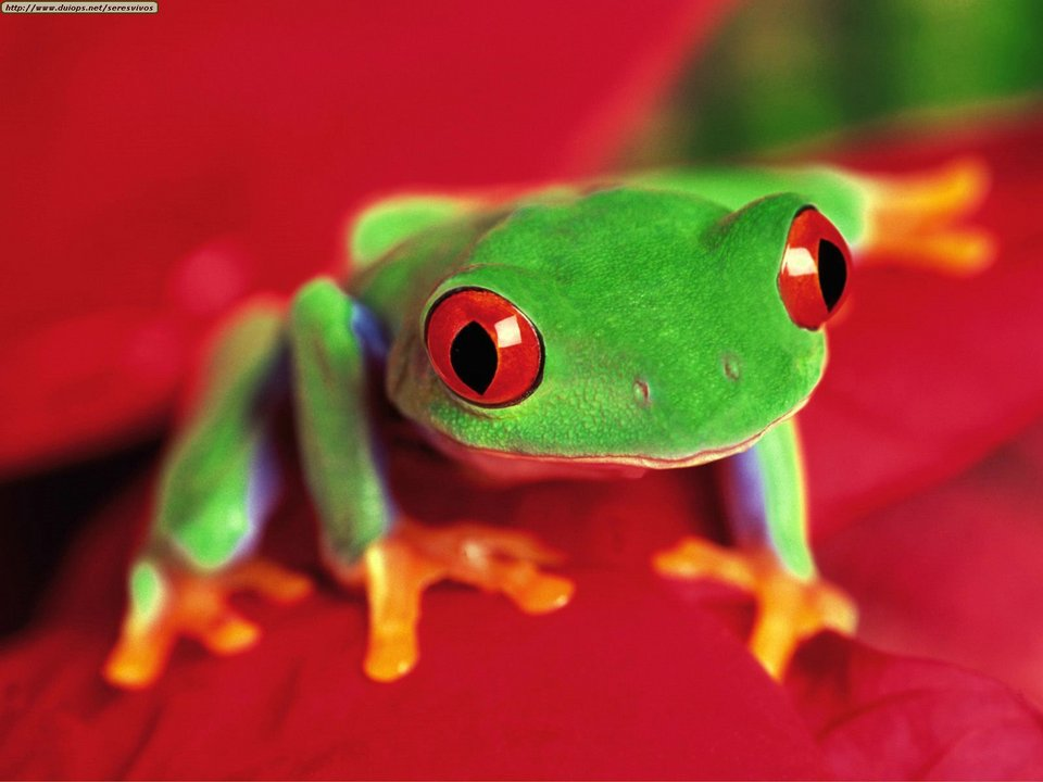 High Resolution Wallpaper | Red Eyed Tree Frog 960x720 px